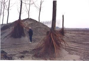 Abbondante formazione di radici dal tronco sommerso da uno strato di oltre 3 m di sabbia