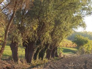 Capitozze di salici: Molto diffuse fino alla metà del novecento nelle golene e nelle aziende agrarie per la produzione di pali.