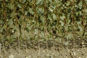Il barbatellaio è la coltivazione base per produrre il materiale di propagazione del pioppo.