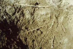 La pioppelle può essere considerata attecchita quando le radici di nuova formazione hanno iniziato a ramificarsi.