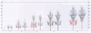 Poplar  pruning. Schema di potatura per piante cresciute da pioppelle di un anno.