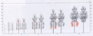 Poplar pruning. Schema di potatura per piante cresciute da pioppelle di due anni.