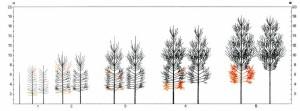 Schema di potatura del pioppo col metodo Frison per piante cresciute da pioppelle di due anni