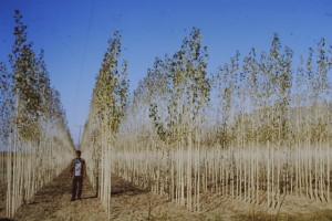 Vivaio di due anni di Populus nigra