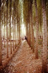 Tipico pioppeto fitto di Populus nigra