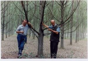 Le piante potate produco più legno e di migliore qualità di quelle non potate